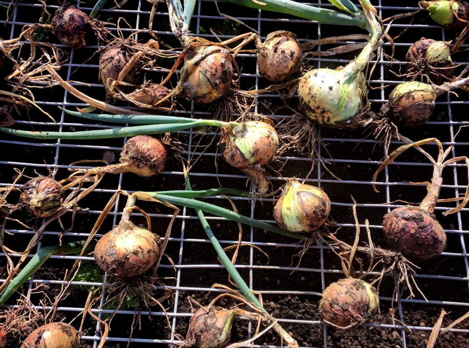 Sweet smelling and even better tasting onions